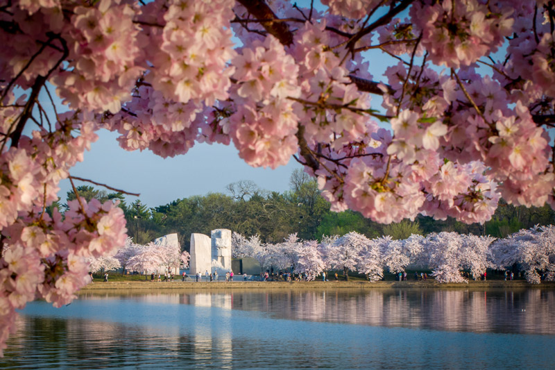 mlk-memorial-from-across-tidal-basin-surrounded-by-blossoms_credit-fred-dunn.jpg