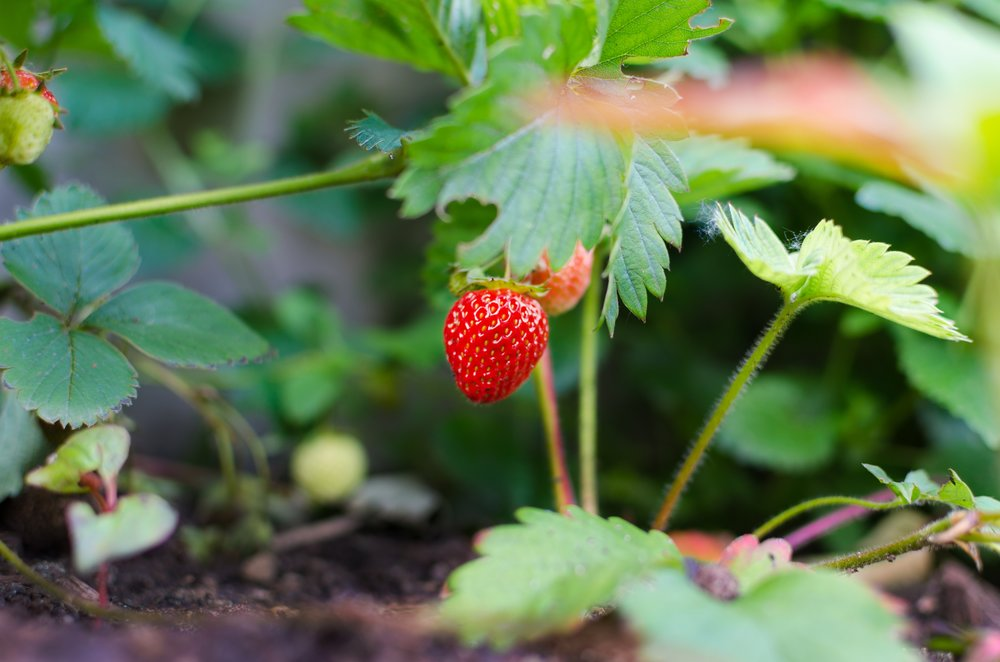 agriculture-berry-close-up-298696.jpg
