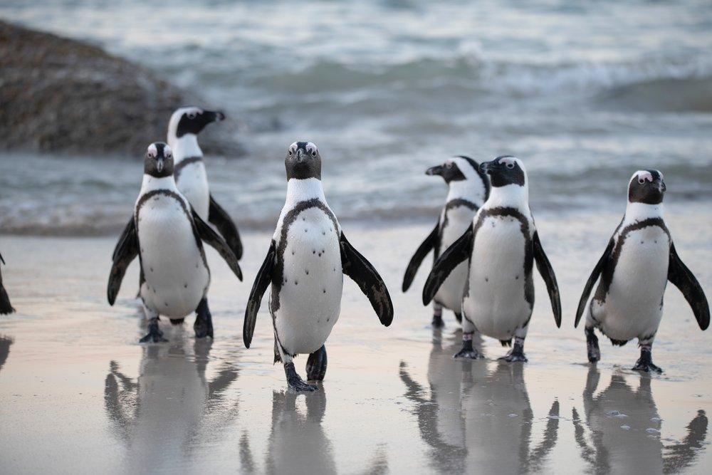 animals-antarctic-beach-1299391.jpg