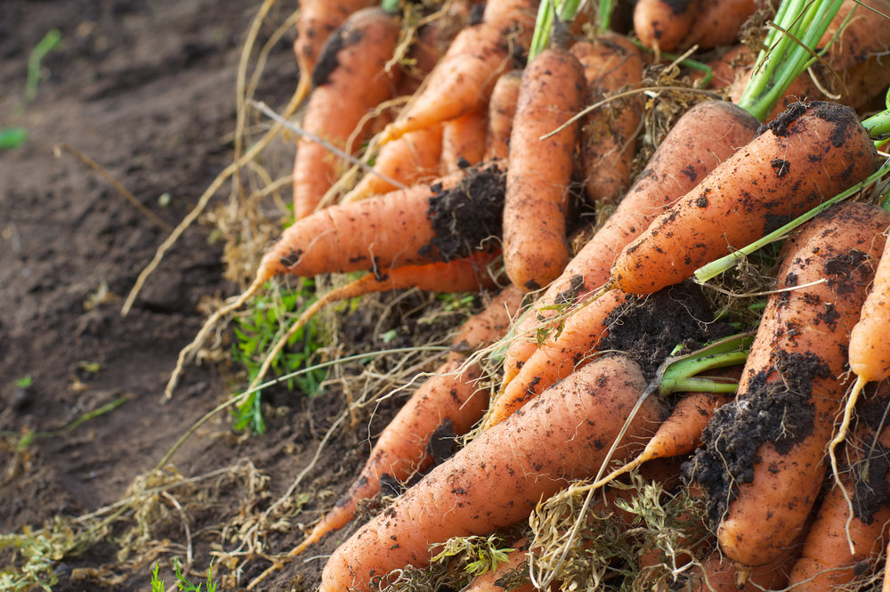 bigstock-Carrot-Just-From-The-Garden-Be-103718948.jpg