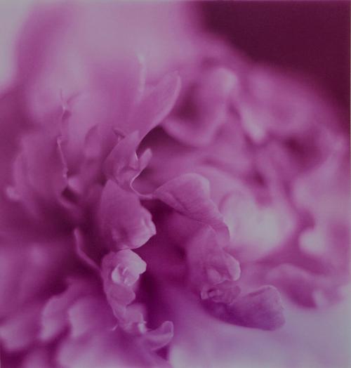 """Untitled #1 Peony Photography Chromogenic Print 33""""x32"""" $2,500"""
