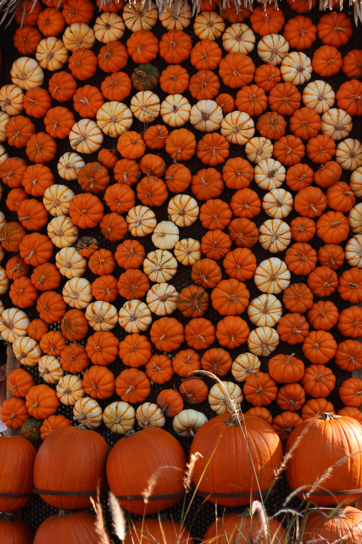 pumpkin patch dallas arboretum