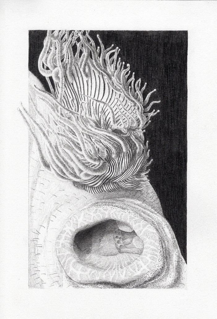 Erin Coates, Ascidian Knee, 2017, pencil on paper, 32 x 21 cm,