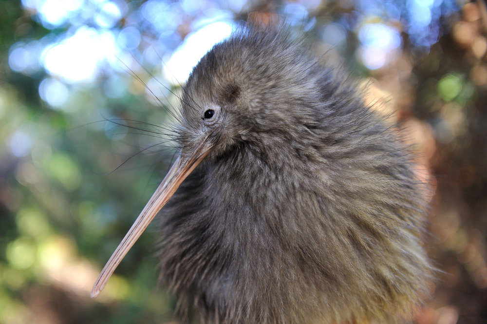 Kiwi Bird at Te Puia