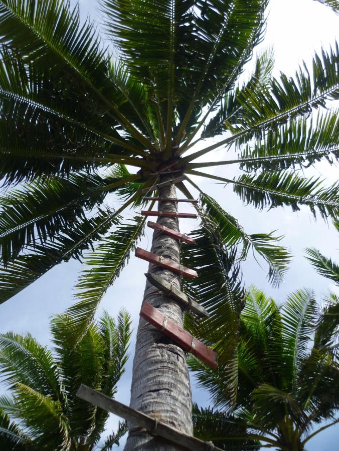 The coconut aisle in Funafuti...
