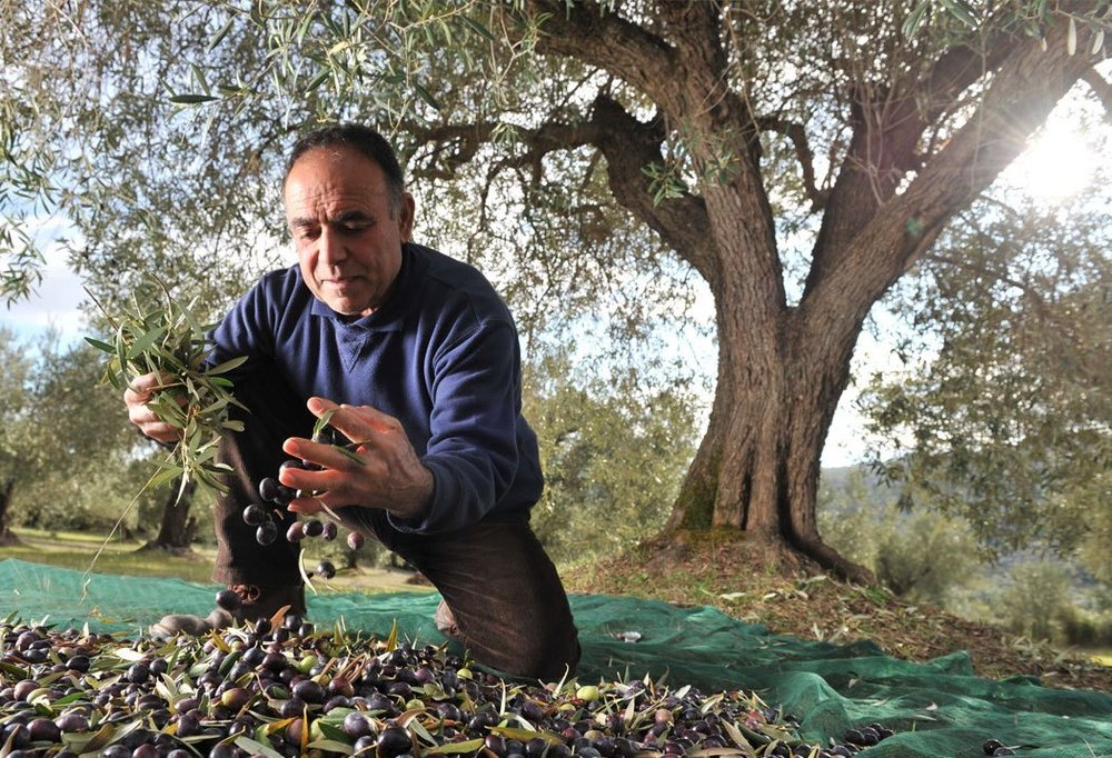 Olive Harvest Sabina DOP