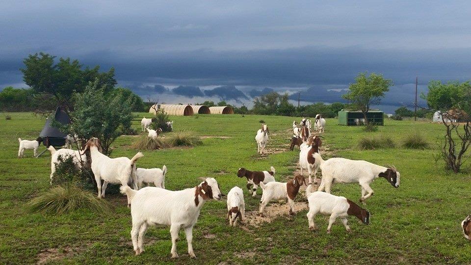 goat42215.jpg
