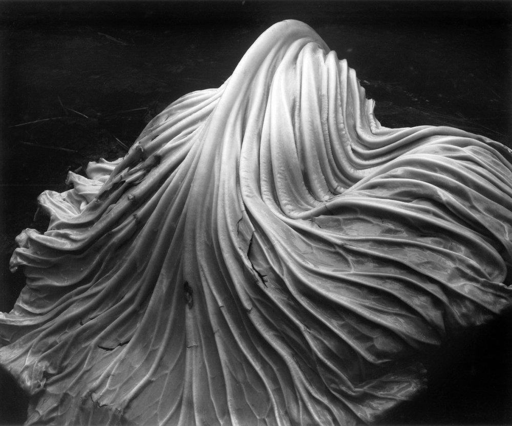 Edward Weston- Cabbage leaf.jpg