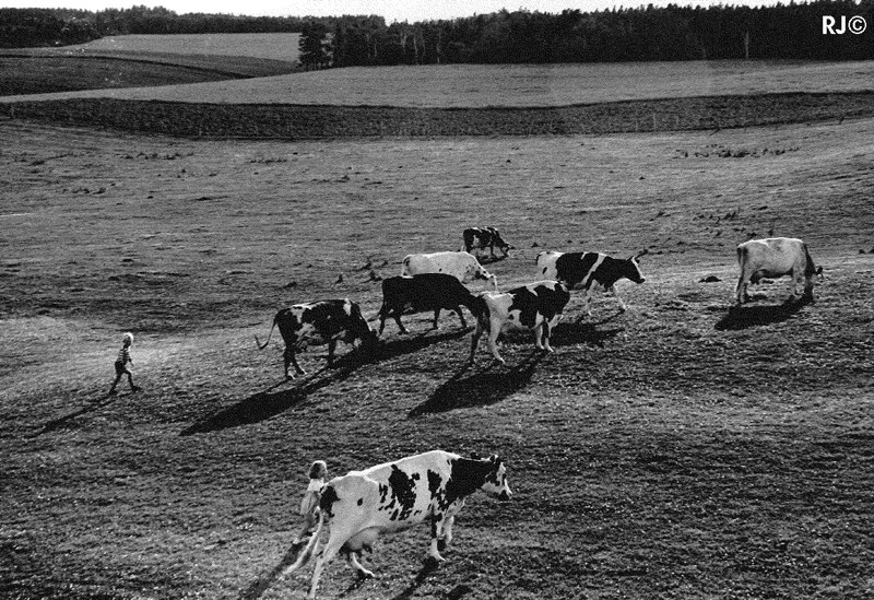 Cows in field - Gaspé, 1954