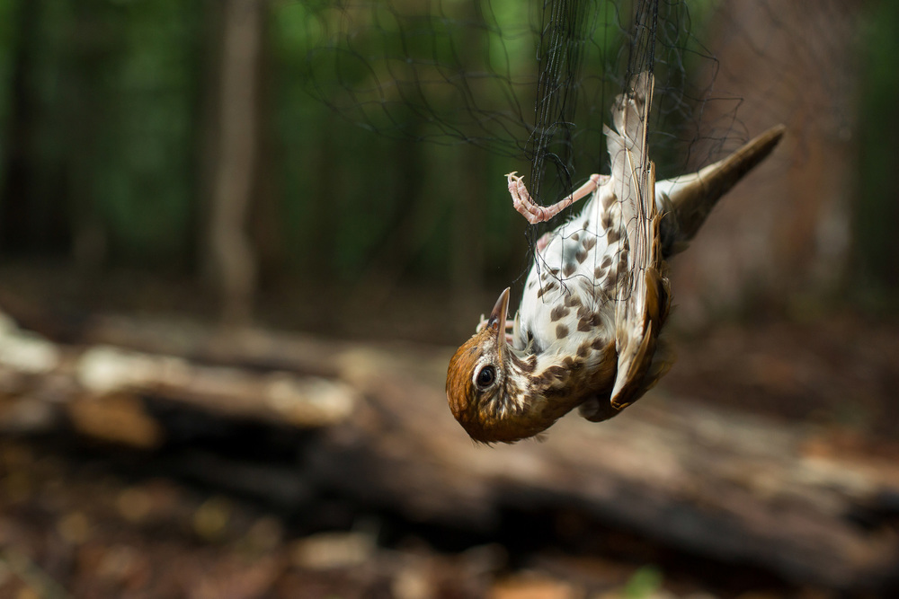Wood Thrushes in North Carolina for Audubon.
