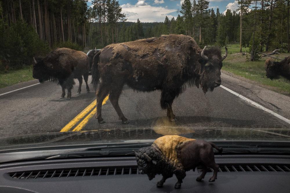 Buffalo Crossing the Road in Yellowstone