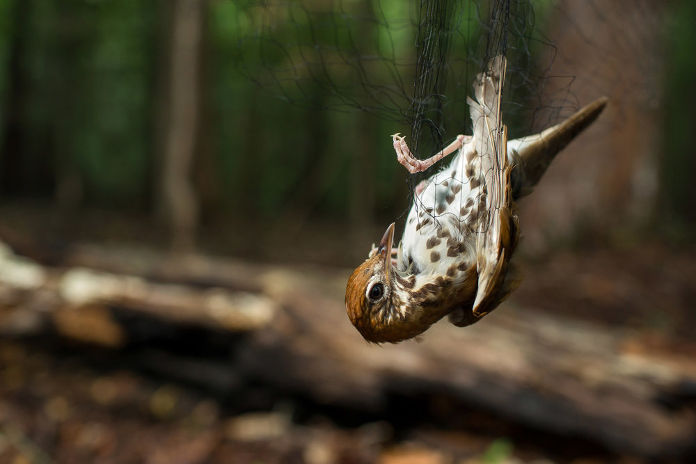 Wood Thrush in a Mist Net