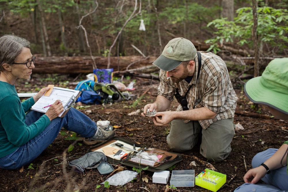 Forsyth Audubon volunteer Jean Chamberlain, left, takes Wood Thrush measurements from scientist Tim Guida at Pilot Mountain in Pinnacle, N.C.