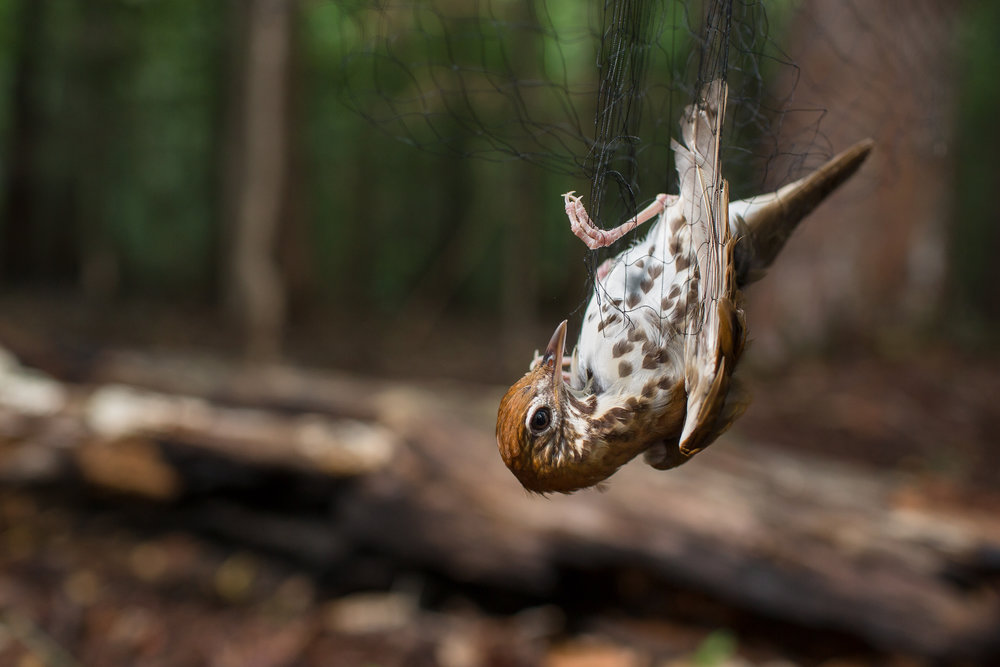A Wood Thrush caught in a mist net. The nets do not harm the birds.