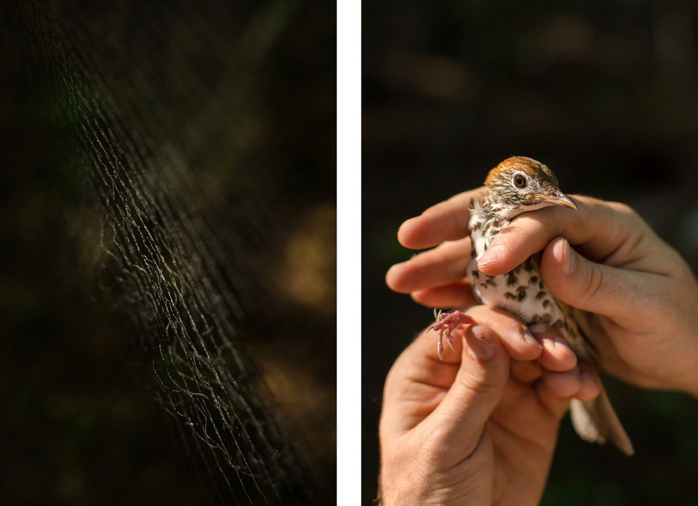 A mist net used to catch birds is illuminated by a sunbeam; and a GPS collar used to track Wood Thrush movements.