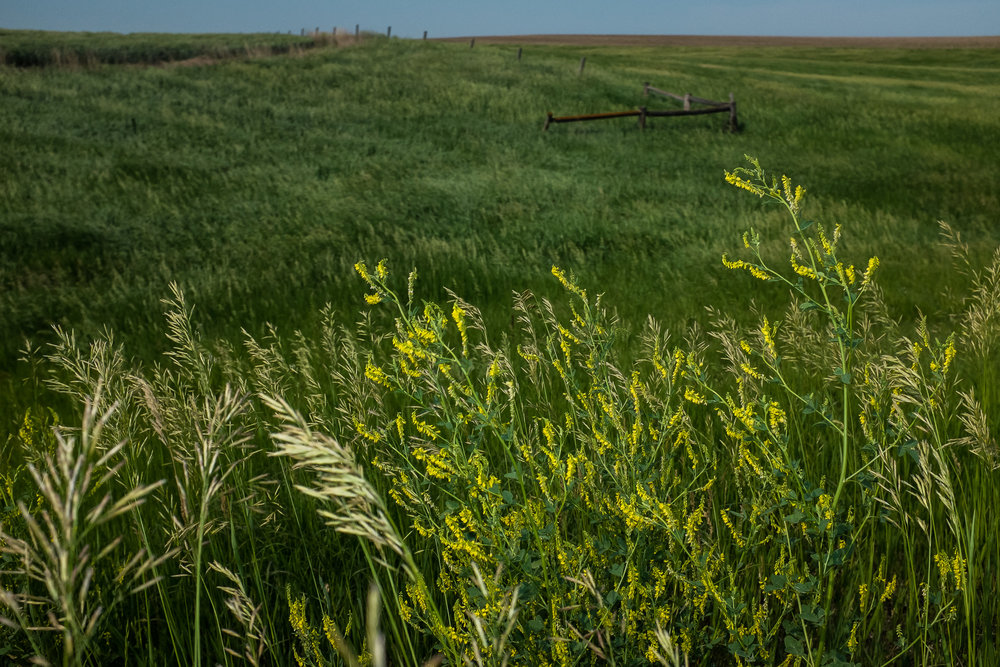 Goldenrod and open prairie, South Dakota.