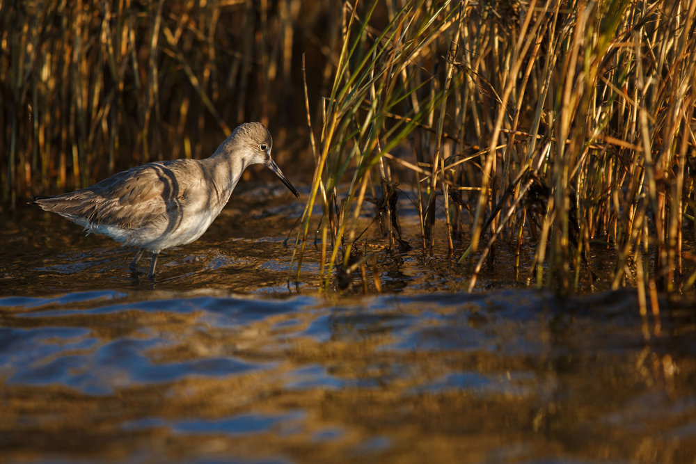 A climate-endangered  species of Sandpiper known as a Willet ( Tringa semipalmata)  searches for prey in the balding marsh grass at the edge of the cemetery.