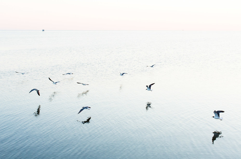 Laughing Gulls fly west along the Pamlico Sound.