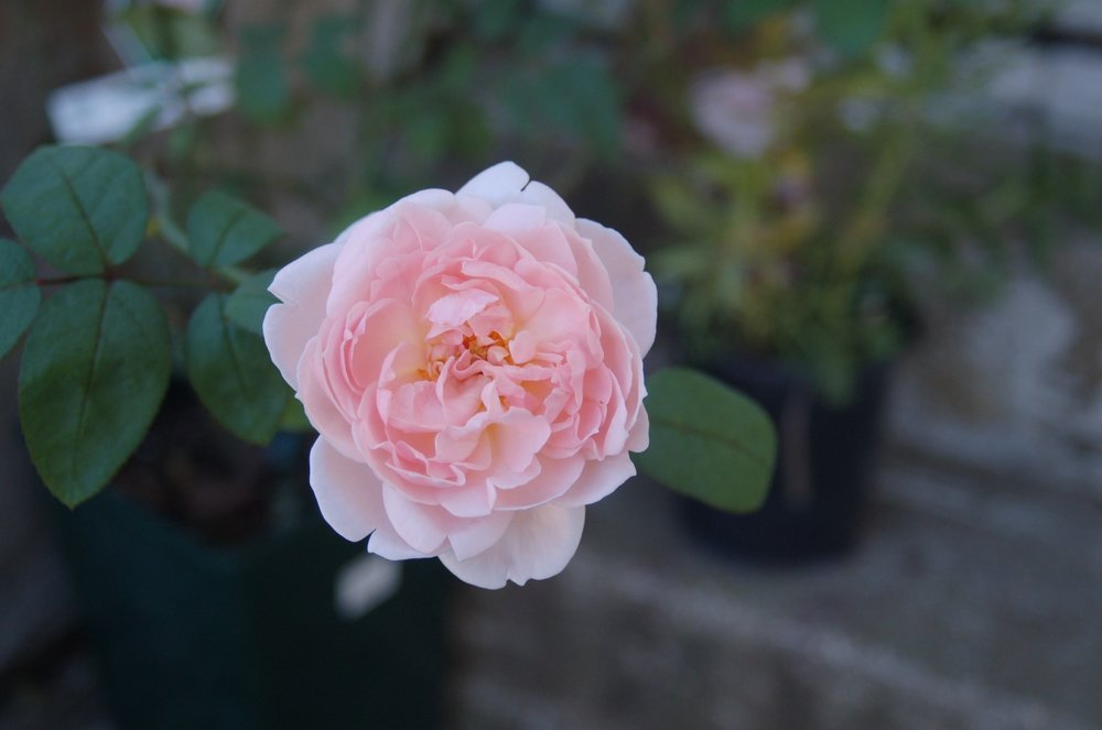A new rose for our German Street garden