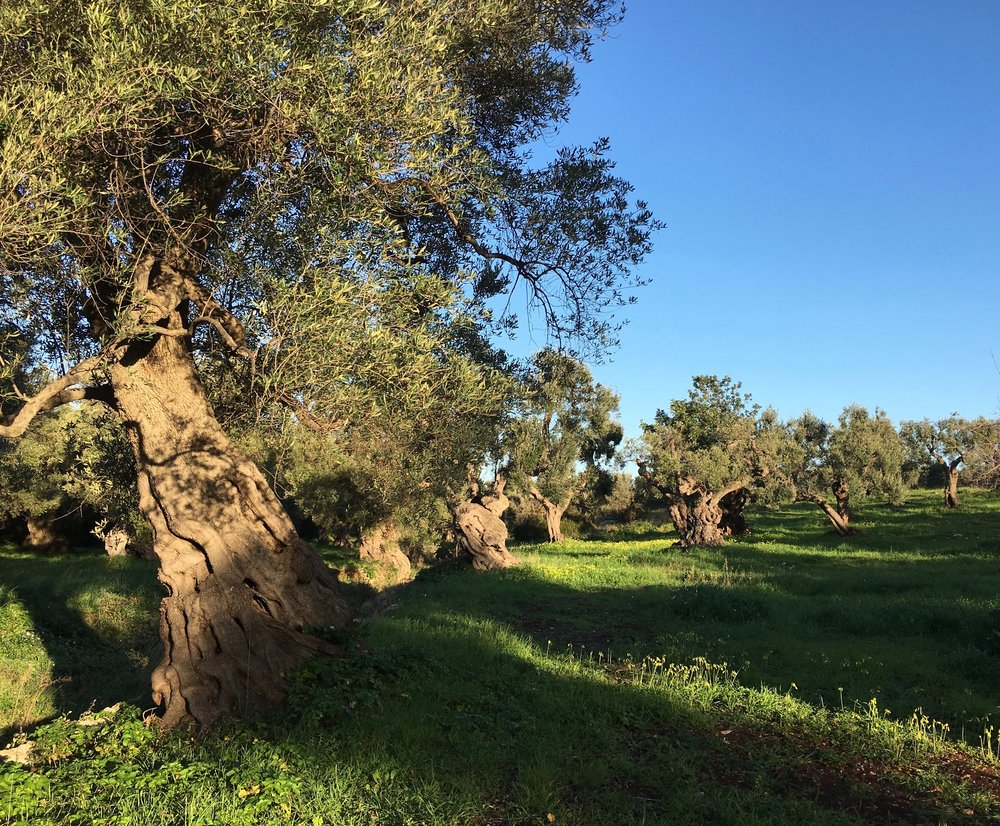 Olive trees in southern Italy, photo by Catherine Libeert