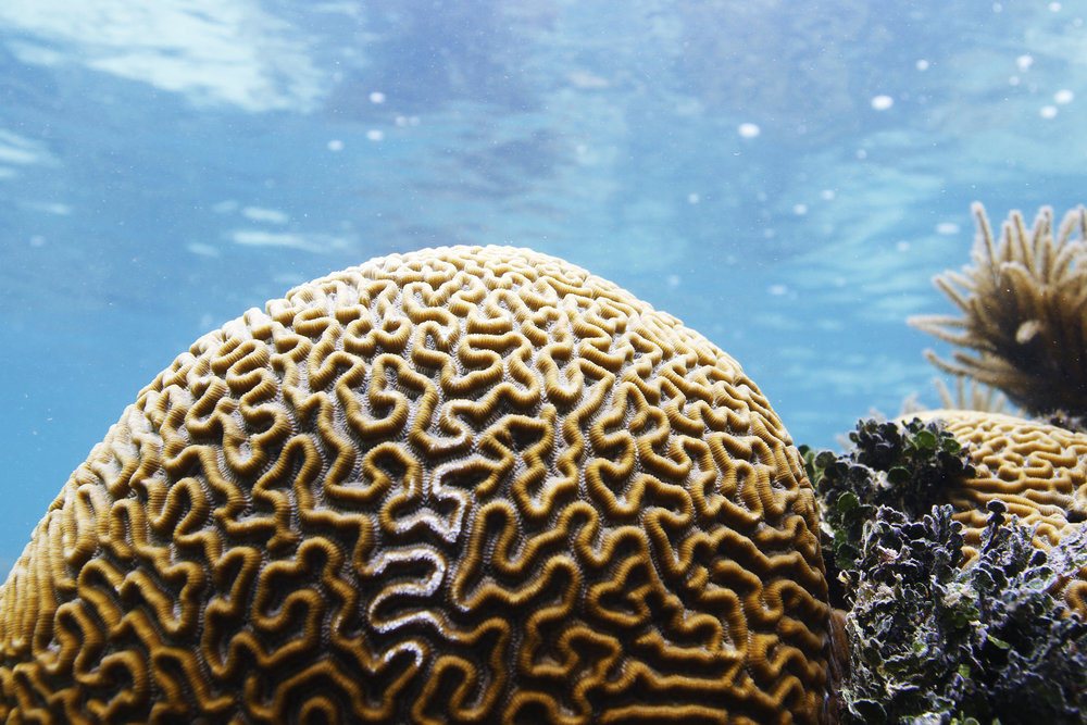 A large symmetrical brain coral starts to show signs of stress at False Caye, about one mile off the coast of Placencia, Belize.
