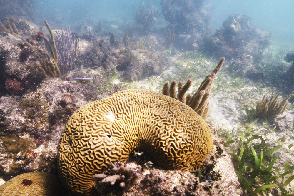 Pseudodiploria strigosa  (symmetrical brain coral) at False Caye.
