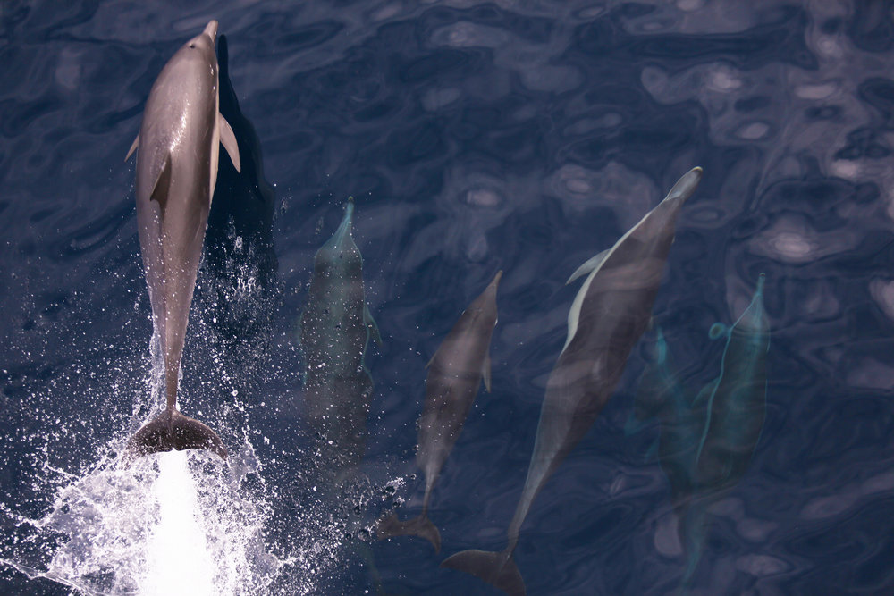 Indo-Pacific bottlenose dolphins jump in front of the bow of R/V  Falkor  near Monterey, California | October 2018