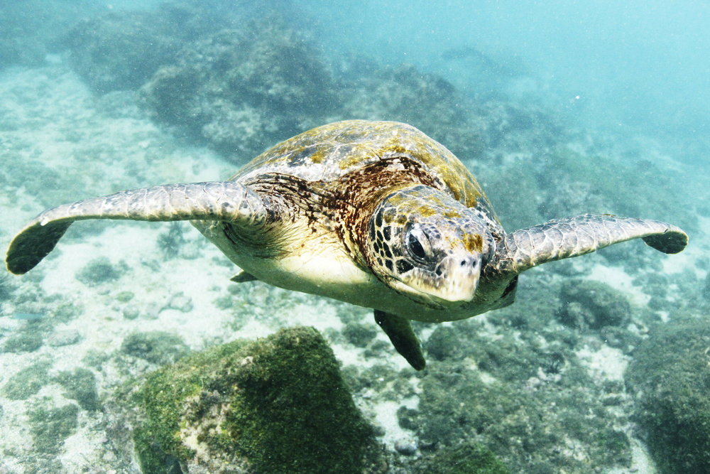 Capturing the grace of a loggerhead sea turtle in Darwin Bay, Galápagos Islands | July 2017