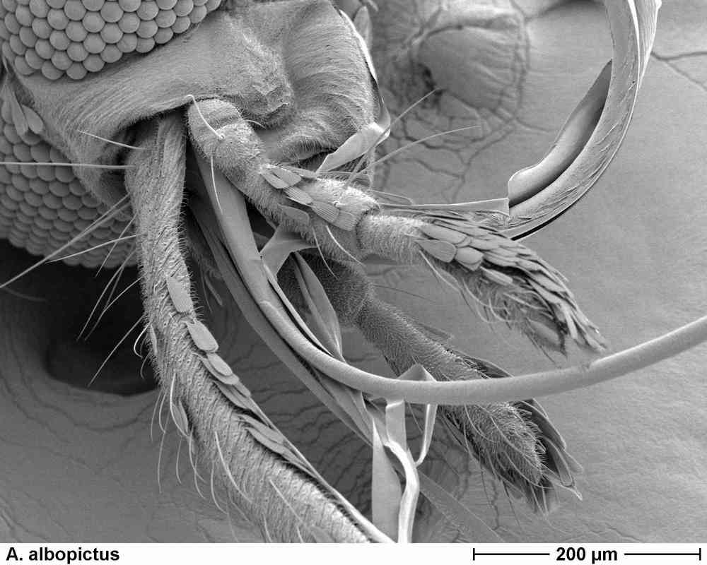 A. albopictus 1004.jpg