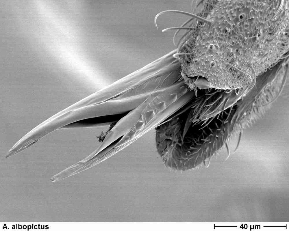A. albopictus 3007.jpg