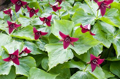 Purple/Red Trillium