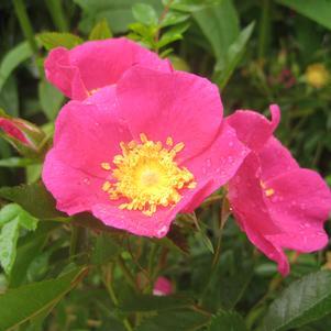 Virginian Rose