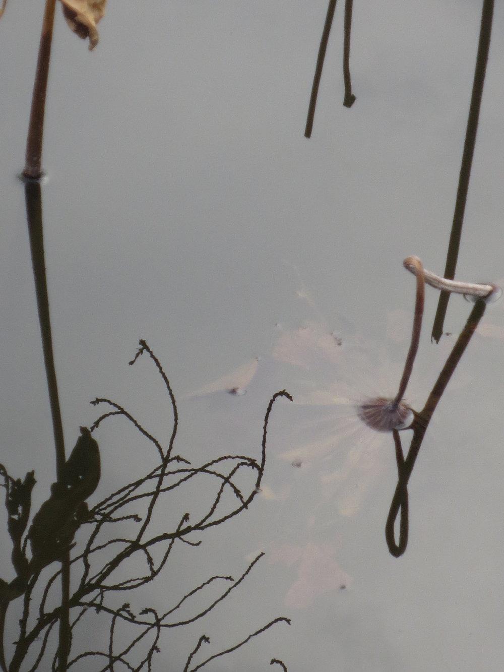 4 Ueno lotus.JPG