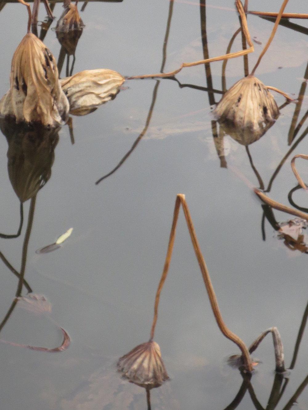 9 Ueno lotus.JPG