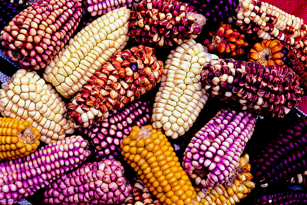 Colourful maize drying in the sun.jpg