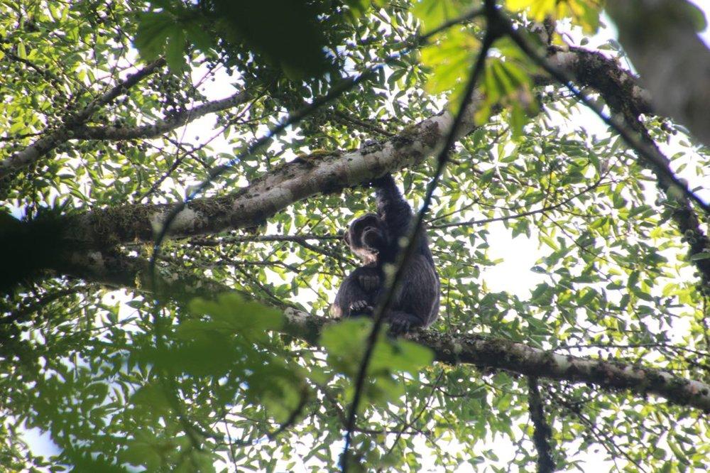 Chimpanzee Uganda Kalinzu