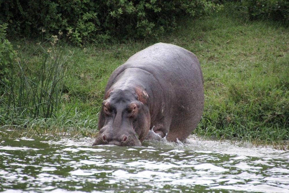 78 hippo.jpg