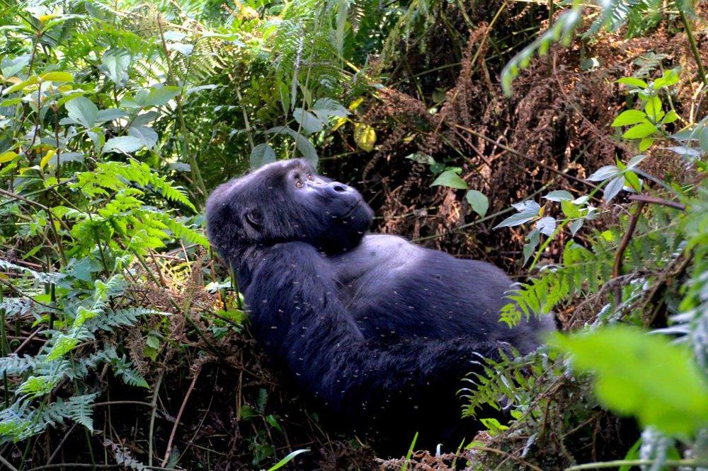 Gorilla Uganda