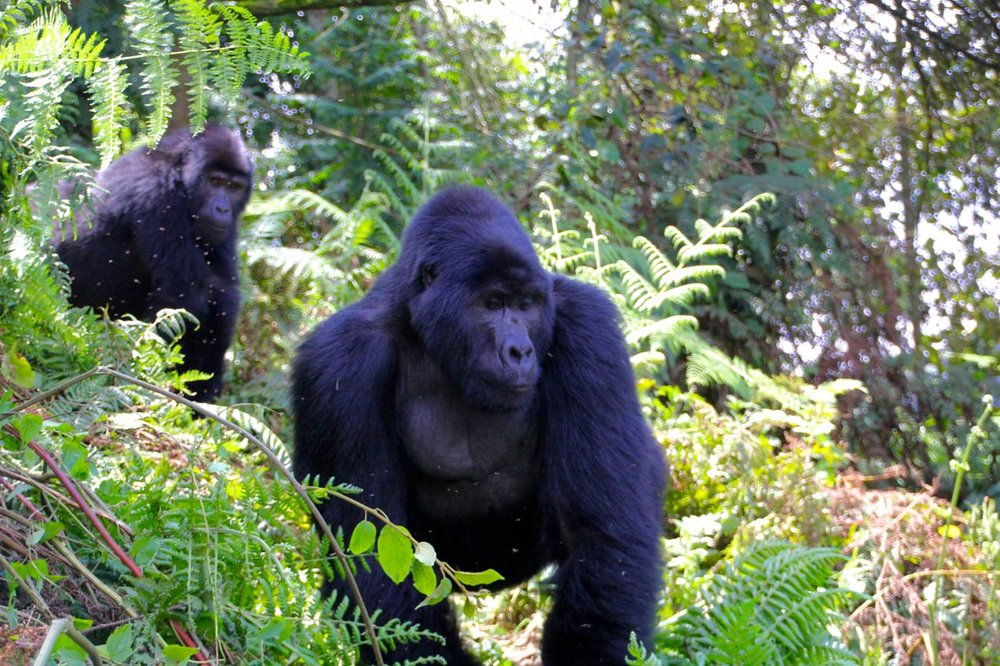 Blackback Gorilla