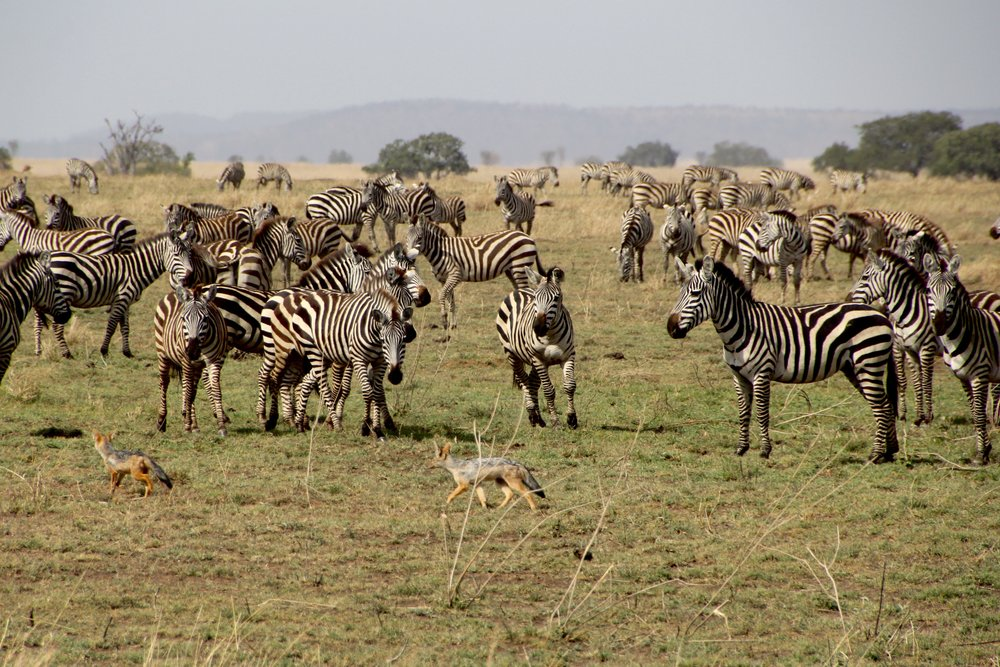 zebra chasing jackal 2.jpg