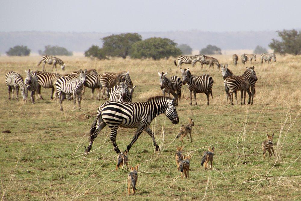 zebra chasing jackal.jpg