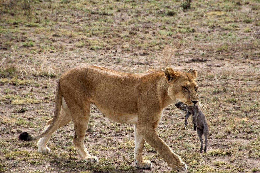 warthog kill 2.jpg