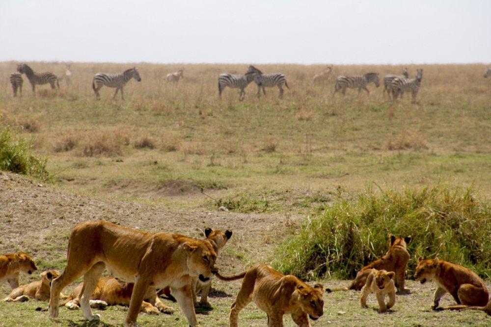 lion chase 2.jpg