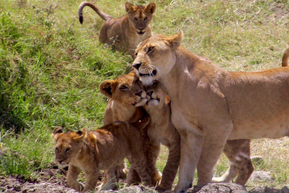 lion chase 3.jpg