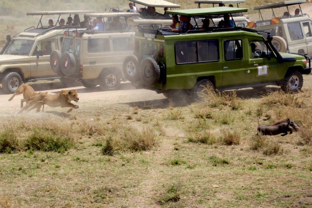 lion chase 6.jpg
