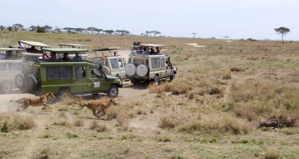 lion chase 7.jpg