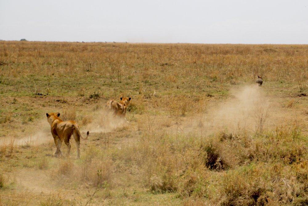 lion chase 8.jpg
