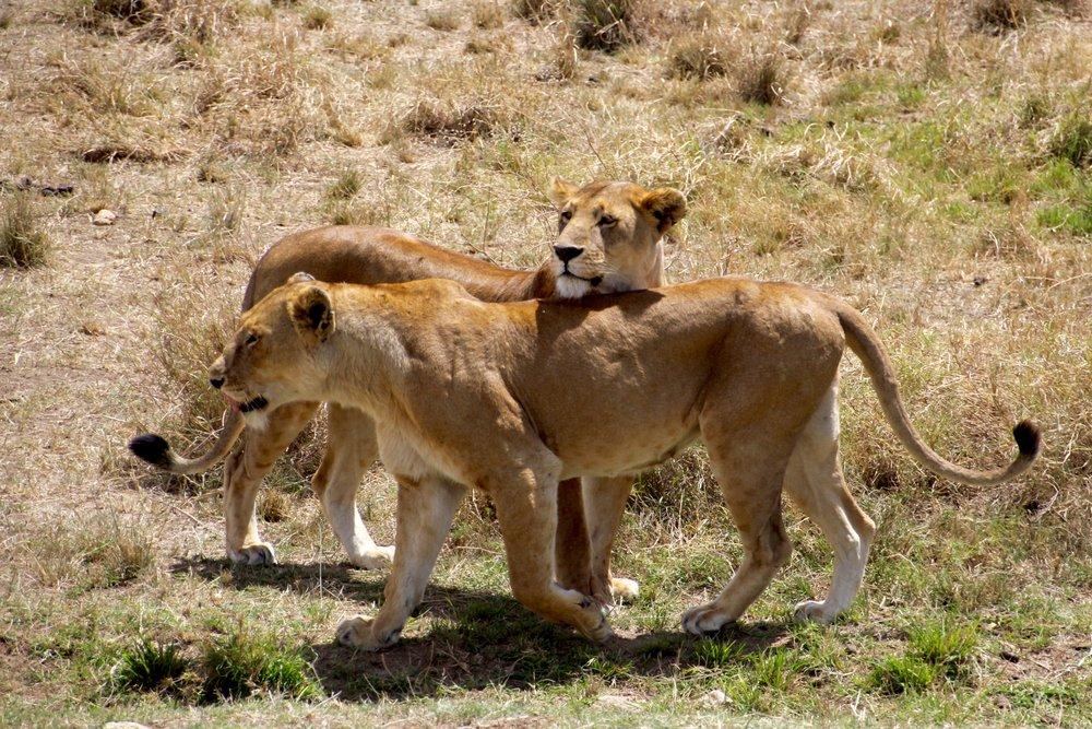 lion chase 9.jpg