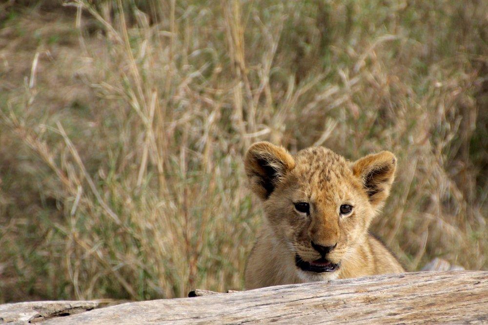 lion cub 3.jpg