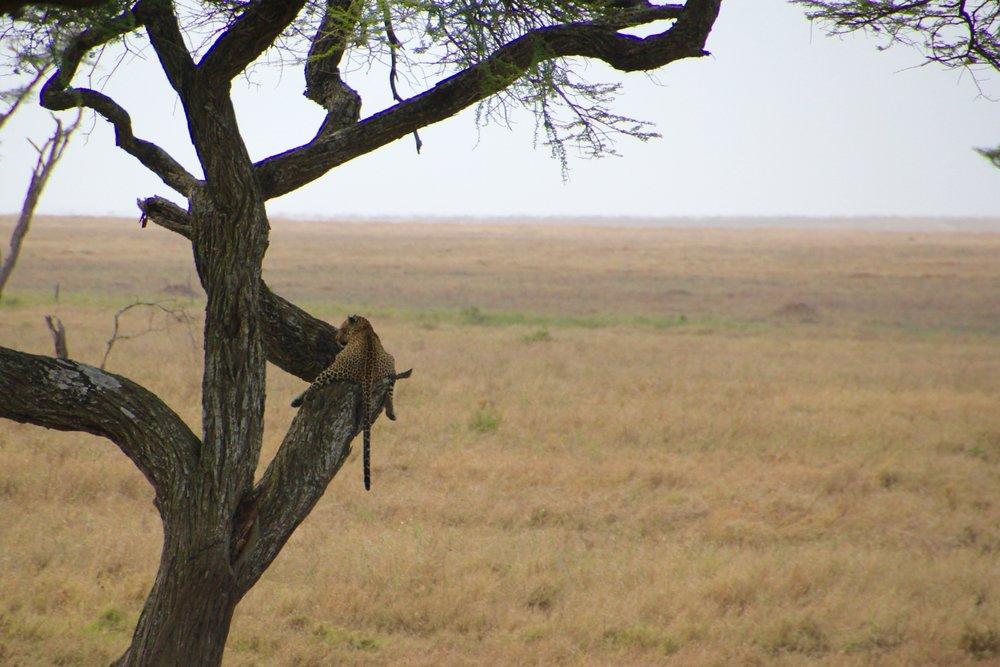 leopard Serengeti